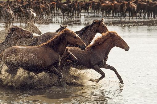 Stallion「Herd of Wild Horses Running in Water」:スマホ壁紙(12)