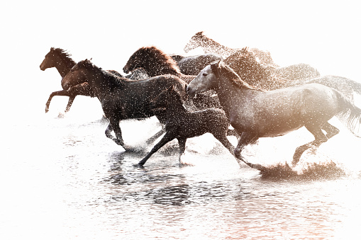 Females「Herd of Wild Horses Running in Water」:スマホ壁紙(4)