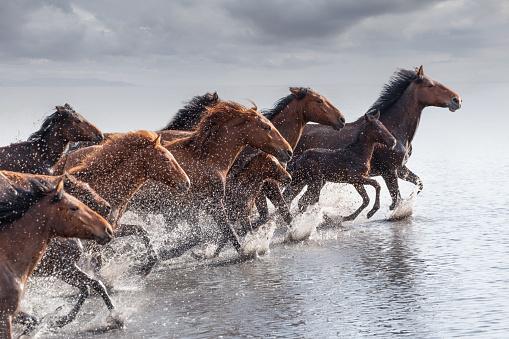 Horse「Herd of Wild Horses Running in Water」:スマホ壁紙(5)