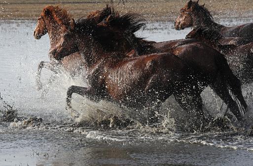 Stallion「Herd of Wild Horses Running in River」:スマホ壁紙(3)