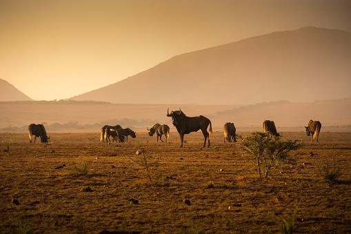 Horned「Herd of Wilderbeest grazing in the African savannah」:スマホ壁紙(16)