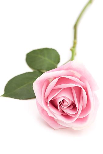 ピンク色「ピンクローズ」:スマホ壁紙(17)