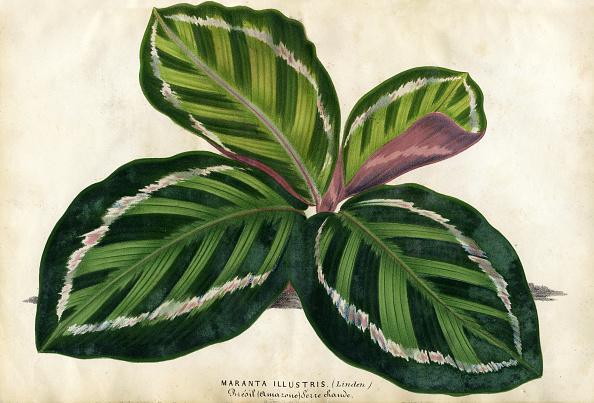 Botany「Maranta」:写真・画像(2)[壁紙.com]