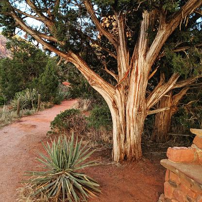 Sedona「Incense Cedar tree and late afternoon light on Courthouse Rock near Sedona Arizona」:スマホ壁紙(14)