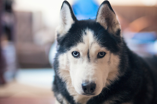 Fine Art Portrait「Male siberian husky looking at camera」:スマホ壁紙(16)