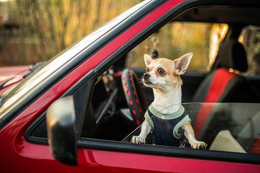 Animal Ear「Impatient Chihuahua dog」:スマホ壁紙(19)