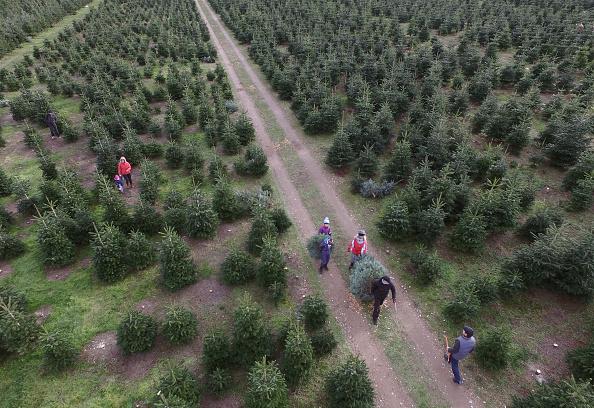 Tree「Visitors Saw Down Their Own Tree At Christmas Tree Farm」:写真・画像(5)[壁紙.com]