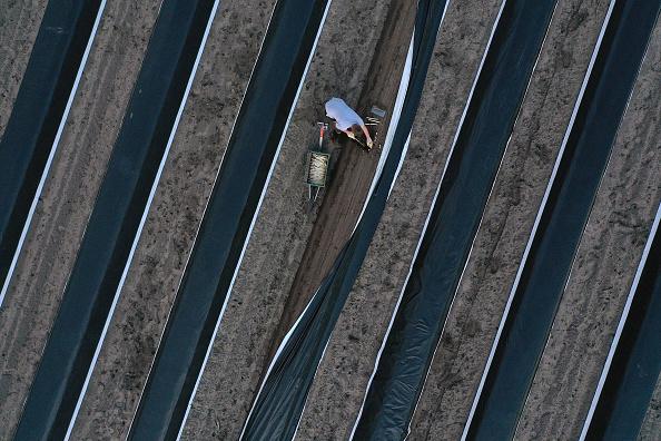 Beelitz「Asparagus Season Underway In Beelitz Region」:写真・画像(11)[壁紙.com]