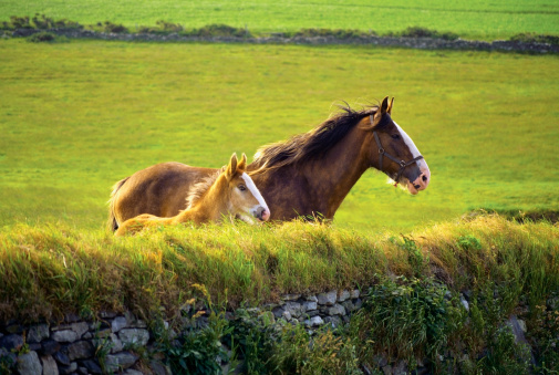 Isle of Man「Foal and a mare in a farm, Isle of Man, British Isles」:スマホ壁紙(11)