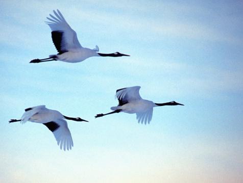 Hokkaido「Red crowned cranes (Grus japonensis) in flight, side view」:スマホ壁紙(8)