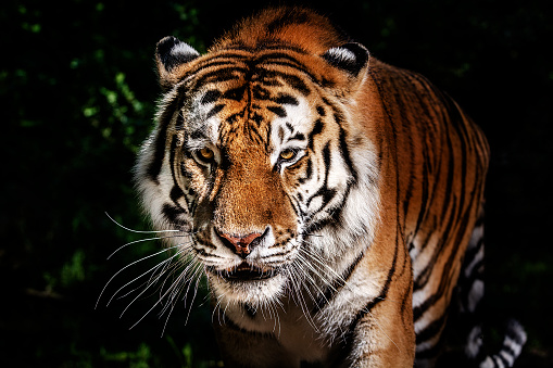 Tiger「Tiger portrait」:スマホ壁紙(6)