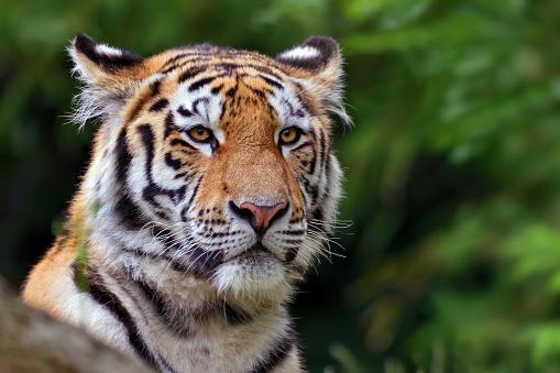 Siberian Tiger「tiger portrait」:スマホ壁紙(18)