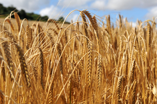 Barley「Close up on the crop of barley in a field」:スマホ壁紙(12)
