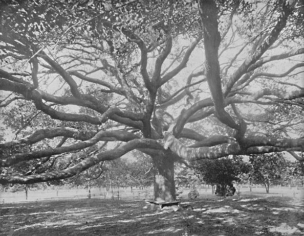 Tree「Mammoth Live Oak」:写真・画像(1)[壁紙.com]