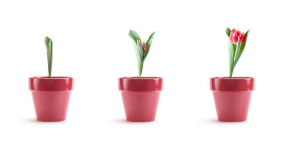 Plant Bulb「Tulip Growth」:スマホ壁紙(8)