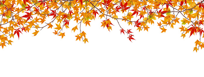 かえでの葉「パノラマに広がる Autumn Maple 枝」:スマホ壁紙(2)