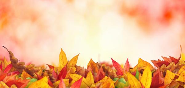 かえでの葉「パノラマに広がる秋の葉」:スマホ壁紙(7)