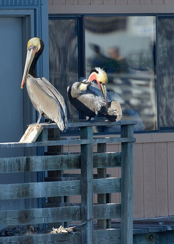 City of Monterey - California「Monterey, the pelicans rest on the piers.」:スマホ壁紙(3)