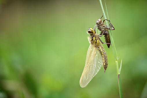Dragonfly「Four-spotted chaser hatching from nymph」:スマホ壁紙(12)