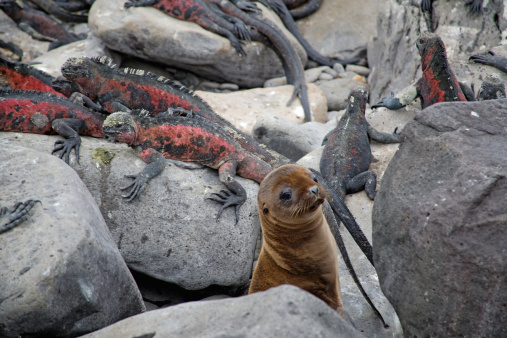 Sea Lion「Sea lion pup and Marine Iguanas at Punta Suarez.」:スマホ壁紙(17)