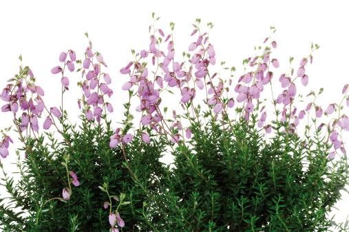 Wildflower「Bell Heather (Erica tetralix), close-up」:スマホ壁紙(6)