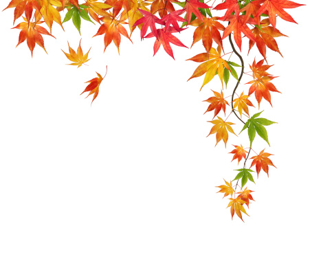 かえでの葉「紅葉を白背景」:スマホ壁紙(16)