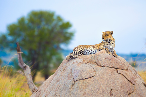 Masai Mara National Reserve「Leopard on a rock.」:スマホ壁紙(8)