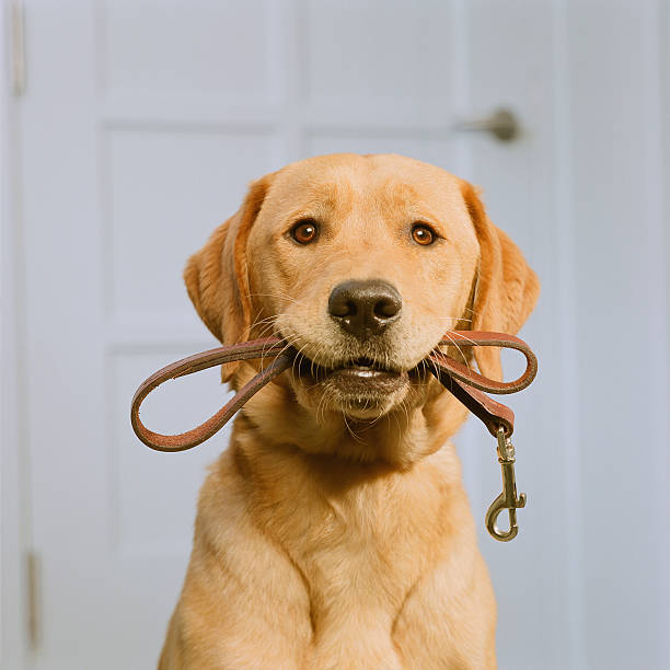 Golden Labrador holding leash in mouth:スマホ壁紙(壁紙.com)
