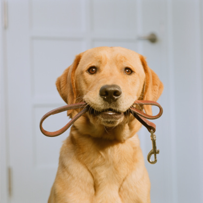 Looking At Camera「Golden Labrador holding leash in mouth」:スマホ壁紙(10)