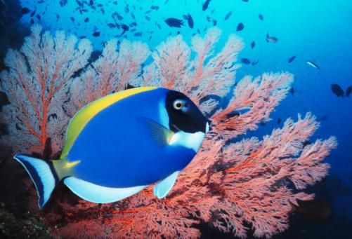 Soft Coral「Powderblue surgeonfish (Acanthurus leucosternon) with gorgonian coral」:スマホ壁紙(11)