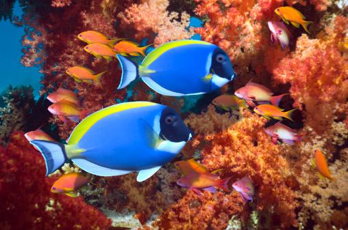 Ecosystem「Powder-blue surgeonfish」:スマホ壁紙(17)