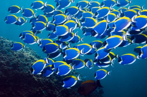 Andaman Sea「Powderblue surgeonfish」:スマホ壁紙(19)