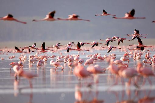 Kenya「Flamingoes on Lake Nakuru」:スマホ壁紙(19)