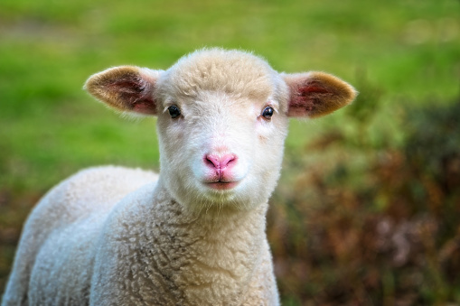 Grazing「Baby Sheep close up」:スマホ壁紙(10)