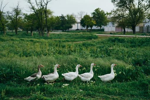 Walking「Ducks walking in grass」:スマホ壁紙(11)