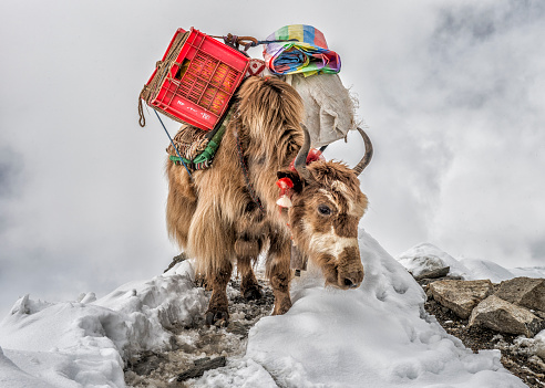 Khumbu「Nepal, Himalayas, Khumbu, Everest Region, Yak carrying supplies」:スマホ壁紙(2)