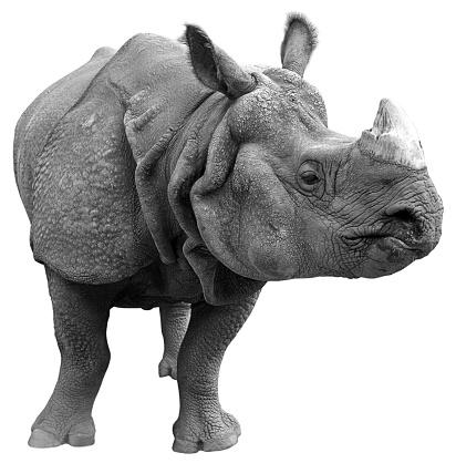 Horned「Gray rhinoceros on a white background 」:スマホ壁紙(0)