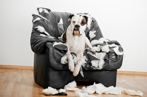 Boxer - Dog「Boxer is on a leather chair」:スマホ壁紙(19)