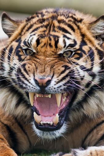 Tiger「Snarling Bengal tiger - Panthera tigris tigris, controlled conditions」:スマホ壁紙(16)