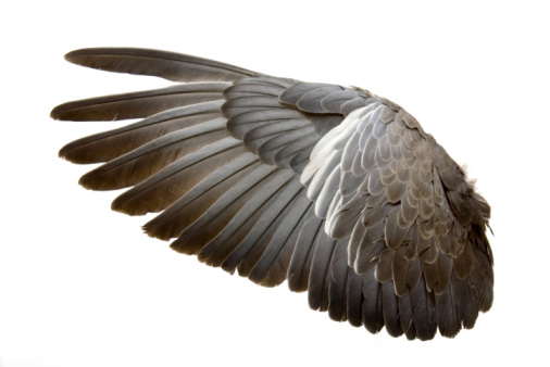 楽園「Complete wing of grey bird isolated on white」:スマホ壁紙(4)