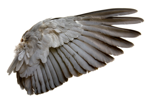 農村の風景「Complete wing of grey bird isolated on white」:スマホ壁紙(18)