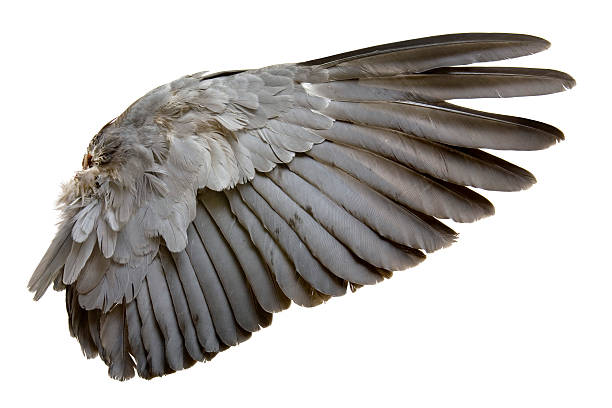 Complete wing of grey bird isolated on white:スマホ壁紙(壁紙.com)