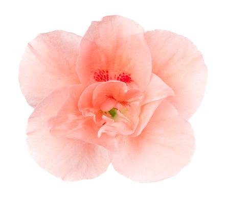 Wildflower「Begonia.」:スマホ壁紙(3)