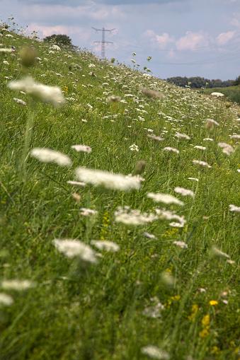 North Brabant「Flowers of Wild Carrot on slope of dike」:スマホ壁紙(9)