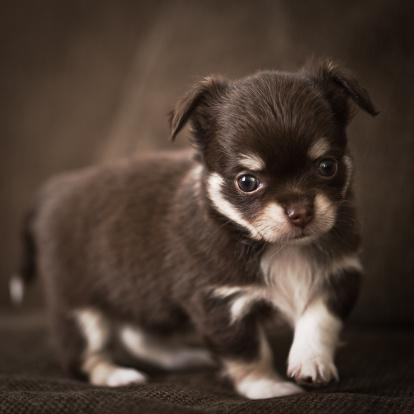 Puppy「Baby Chihuahua」:スマホ壁紙(6)