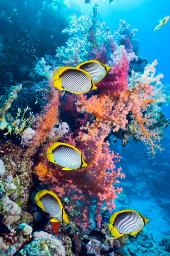 Soft Coral「Coral reef scenery with Butterflyfish」:スマホ壁紙(0)