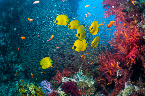 Ecosystem「Coral reef scenery with butterflyfish」:スマホ壁紙(4)
