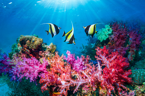 Soft Coral「Coral reef scenery with Moorish idols.」:スマホ壁紙(16)