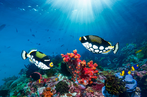 Soft Coral「Coral reef scenery with triggerfish」:スマホ壁紙(12)