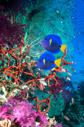 Soft Coral「Coral reef scenery with yellowtail tangs」:スマホ壁紙(17)